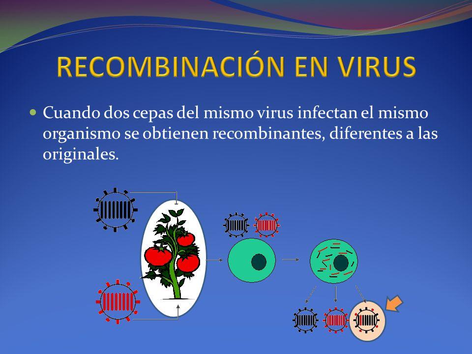 Cuando dos cepas del mismo virus infectan el mismo organismo se obtienen recombinantes, diferentes a las originales.