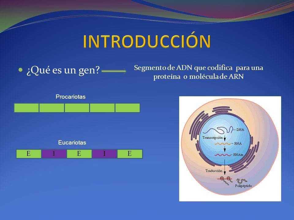 ¿Qué es un gen? Segmento de ADN que codifica para una proteína o molécula de ARN EIEIE Procariotas Eucariotas