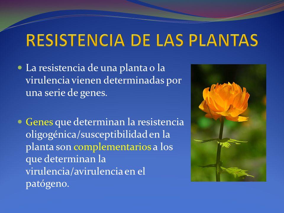 La resistencia de una planta o la virulencia vienen determinadas por una serie de genes. Genes que determinan la resistencia oligogénica/susceptibilid