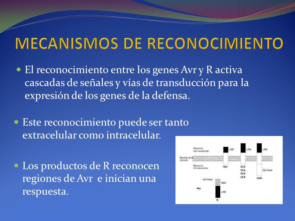 Este reconocimiento puede ser tanto extracelular como intracelular. Los productos de R reconocen regiones de Avr e inician una respuesta. El reconocim