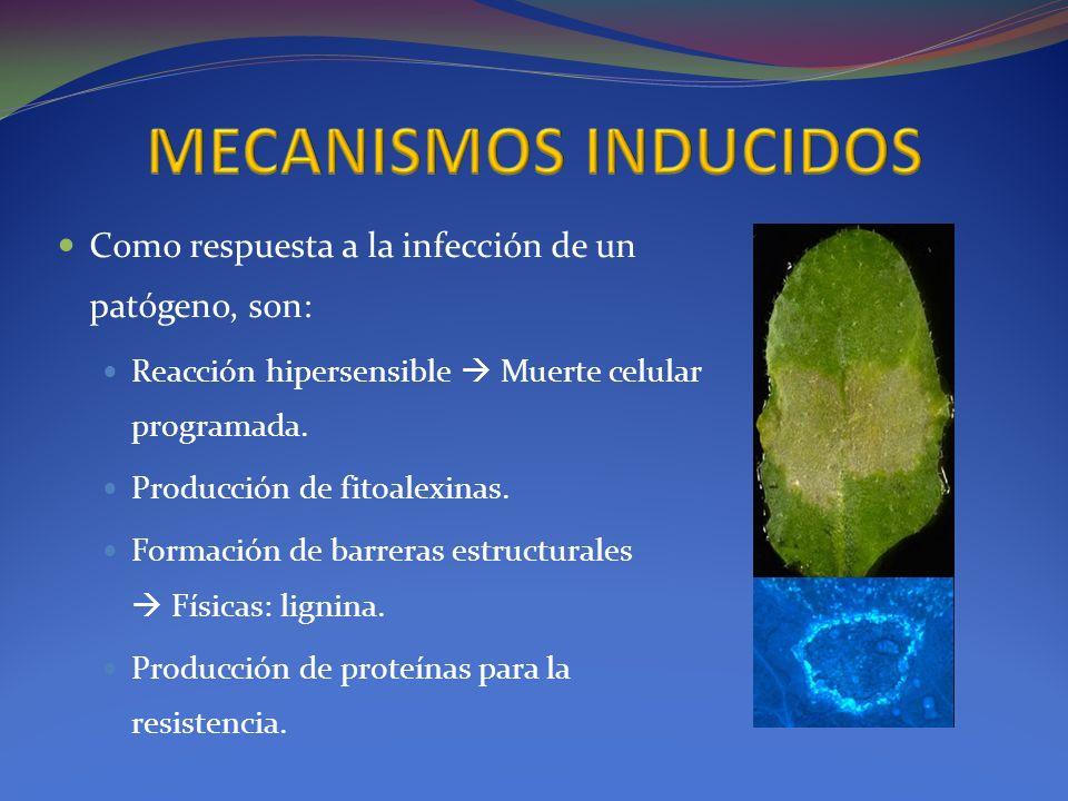 Como respuesta a la infección de un patógeno, son: Reacción hipersensible Muerte celular programada. Producción de fitoalexinas. Formación de barreras