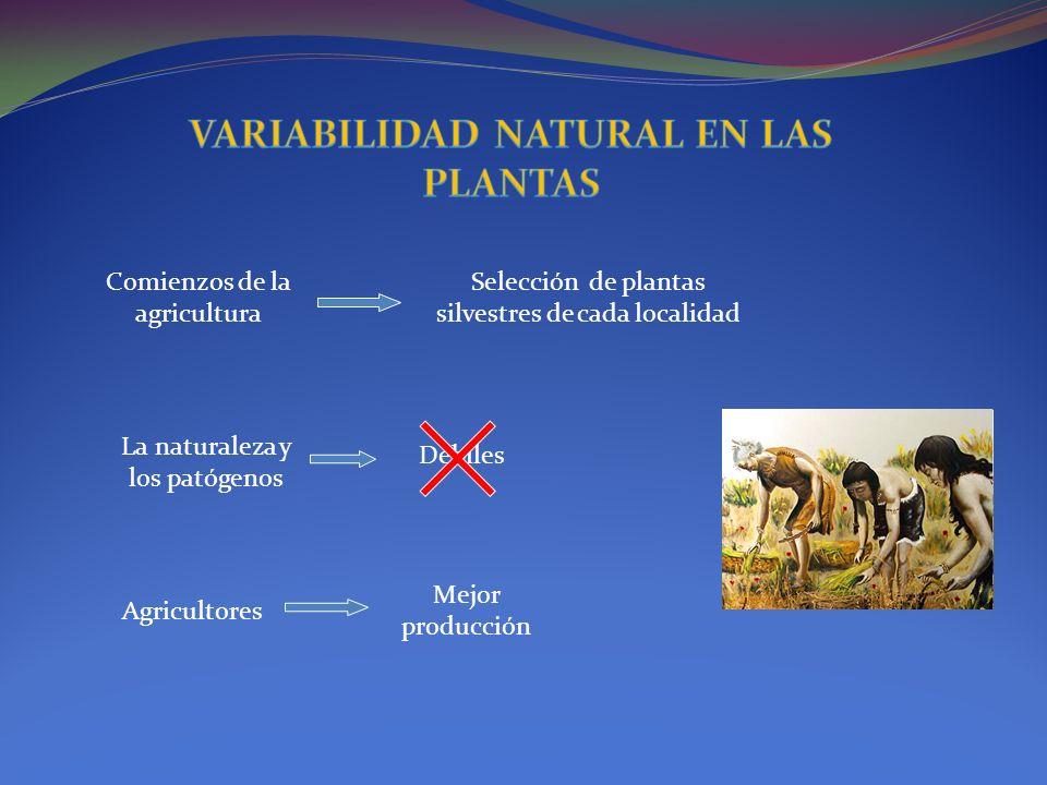 Comienzos de la agricultura Selección de plantas silvestres de cada localidad La naturaleza y los patógenos Débiles Agricultores Mejor producción