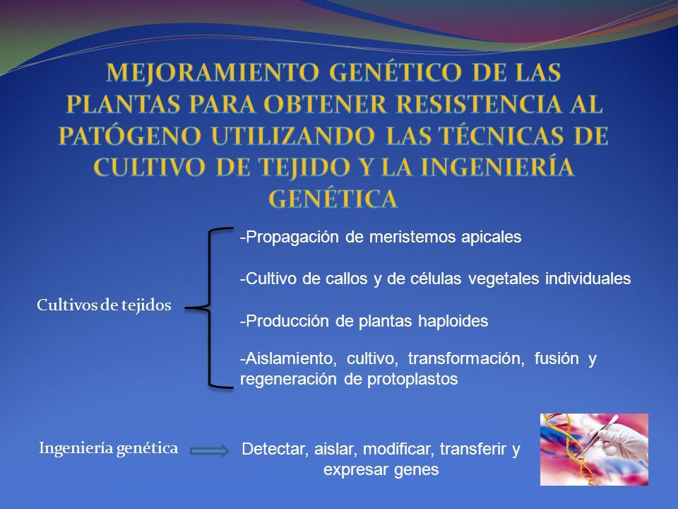 Cultivos de tejidos Ingeniería genética -Propagación de meristemos apicales -Cultivo de callos y de células vegetales individuales -Producción de plan
