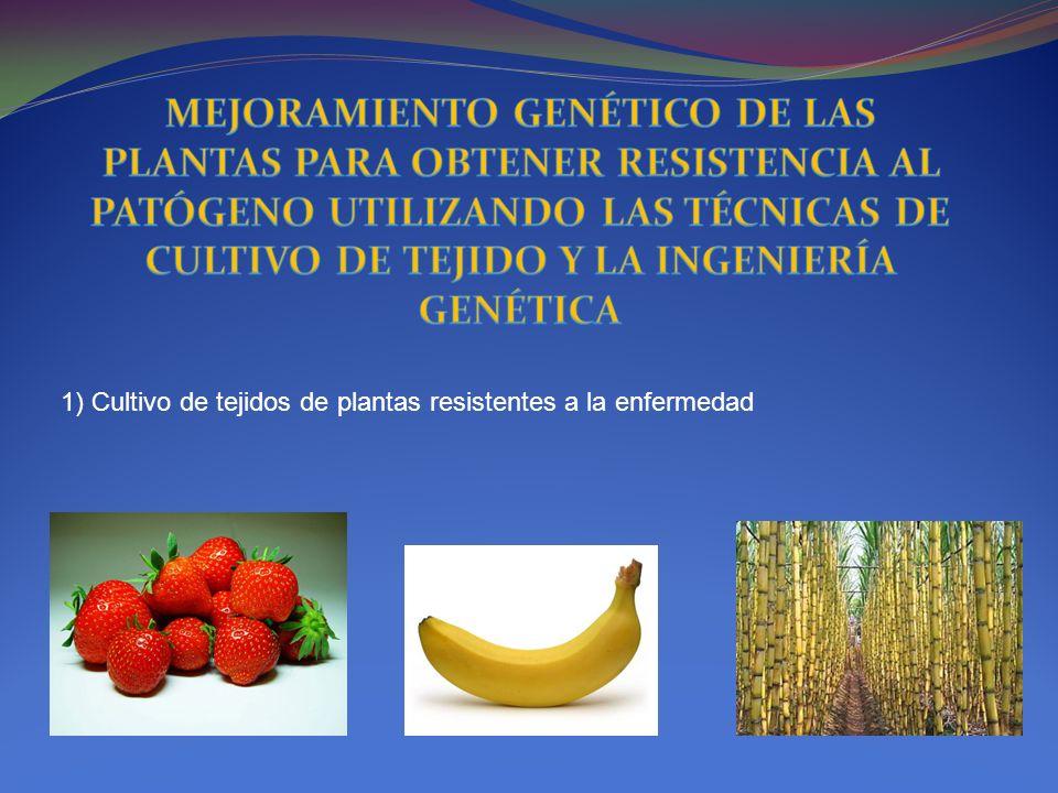 1) Cultivo de tejidos de plantas resistentes a la enfermedad