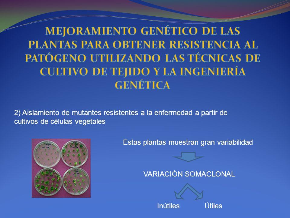 2) Aislamiento de mutantes resistentes a la enfermedad a partir de cultivos de células vegetales Estas plantas muestran gran variabilidad VARIACIÓN SO