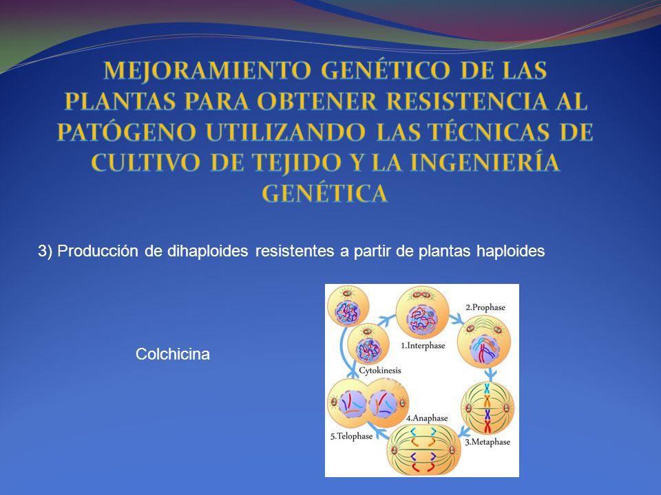3) Producción de dihaploides resistentes a partir de plantas haploides Colchicina