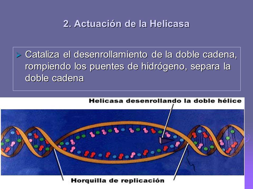 1. Reconocimiento del sitio de inicio Replicación bidireccional: En las bacterias existe un solo origen de replicación, y, a partir de este único punt