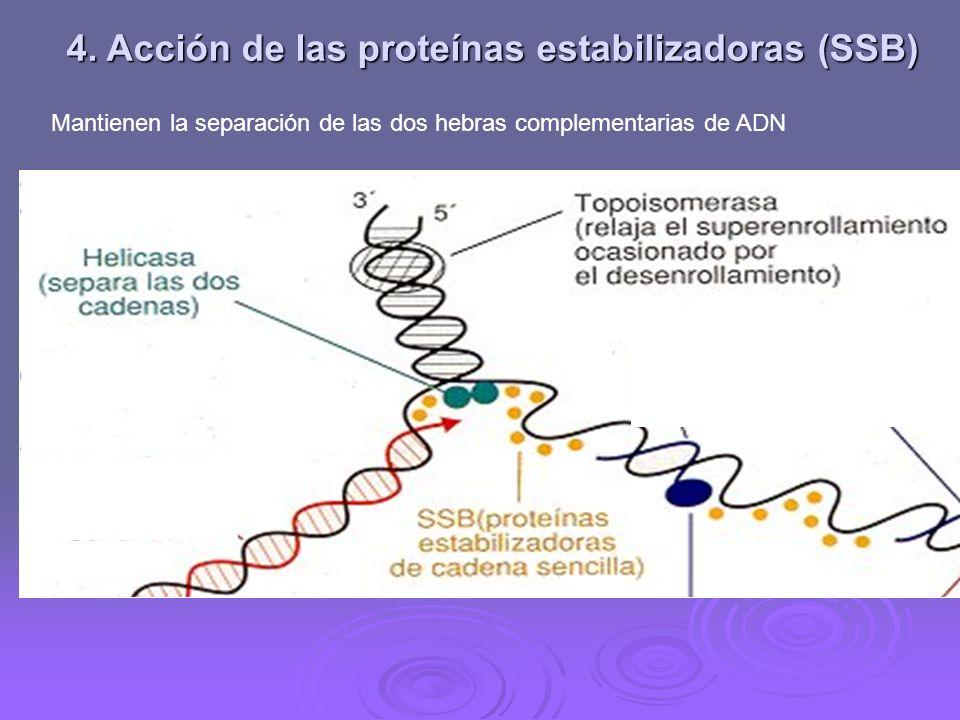 3. Actuación de las Topoisomerasas Eliminan las tensiones y los superenrollamientos que se producen en la molécula al romperse la doble hélice Elimina