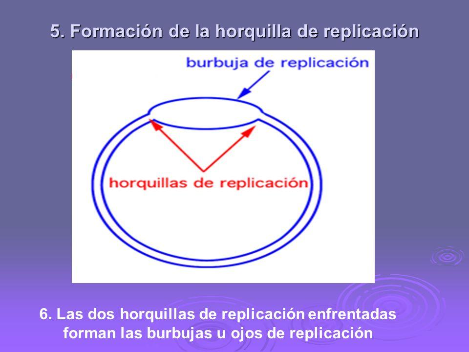 4. Acción de las proteínas estabilizadoras (SSB) Mantienen la separación de las dos hebras complementarias de ADN