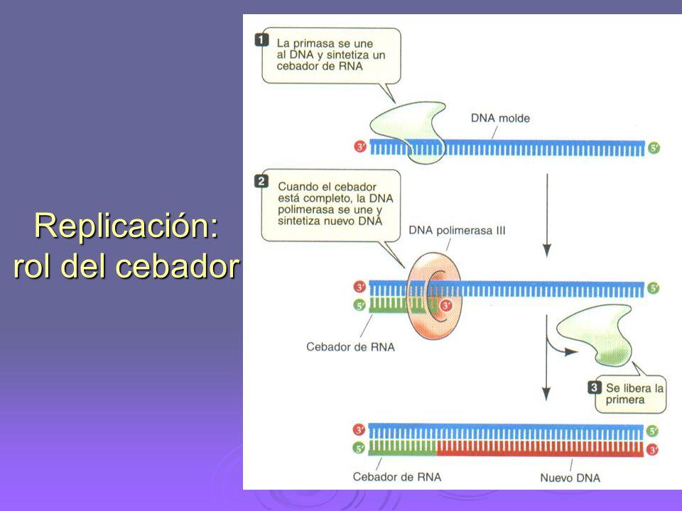 Fase de elongación 1. Una ARN-polimerasa llamada PRIMASA fabrica un ARN cebador llamado Primer o Primer
