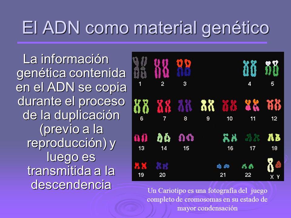 El ADN como material genético La información genética contenida en el ADN se copia durante el proceso de la duplicación (previo a la reproducción) y luego es transmitida a la descendencia Un Cariotipo es una fotografía del juego completo de cromosomas en su estado de mayor condensación