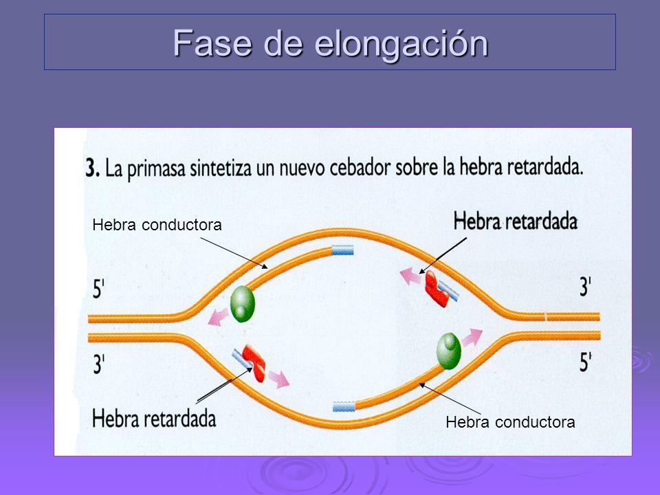 2. A partir del Primer la ADN-polimerasa III empieza a sintetizar una hebra de ADN en sentido 5´ 3´. Esta nueva hebra tiene un crecimiento continuo y