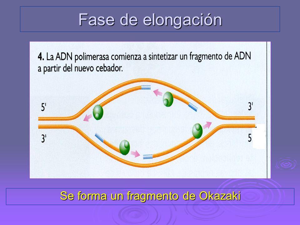 Hebra conductora Fase de elongación
