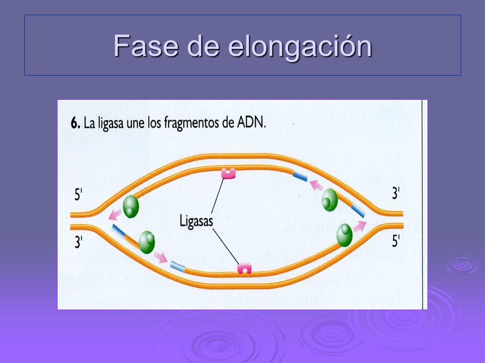 Fase de elongación ADN-polimerasa I: retira los segmentos de ARN y añade nucleótidos de ADN en su lugar