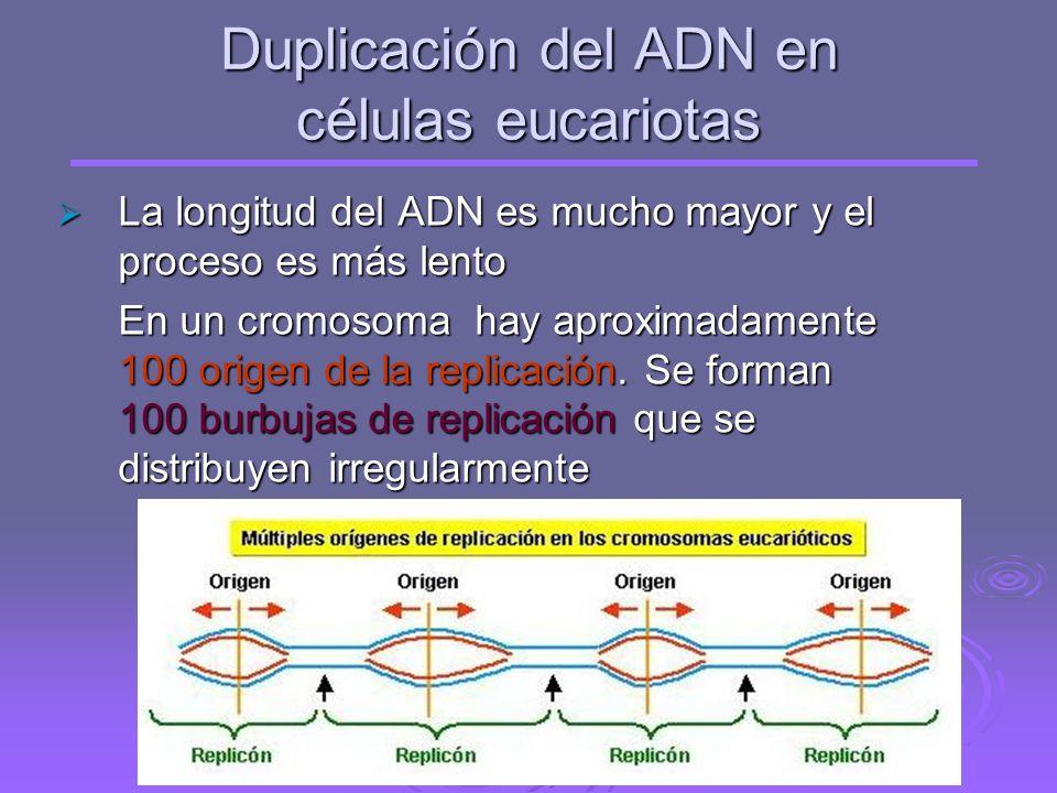Duplicación del ADN en células eucariotas Muy similar a las células procariotas. Diferencias: El ADN está asociado a histonas formando nucleosomas: El