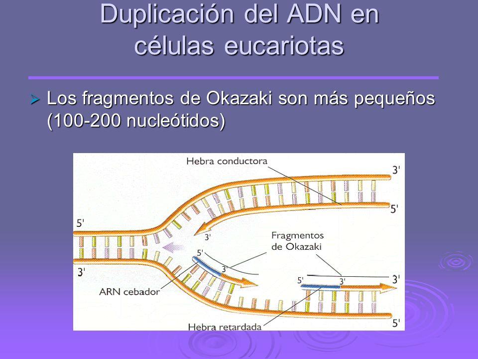Duplicación del ADN en células eucariotas La longitud del ADN es mucho mayor y el proceso es más lento La longitud del ADN es mucho mayor y el proceso