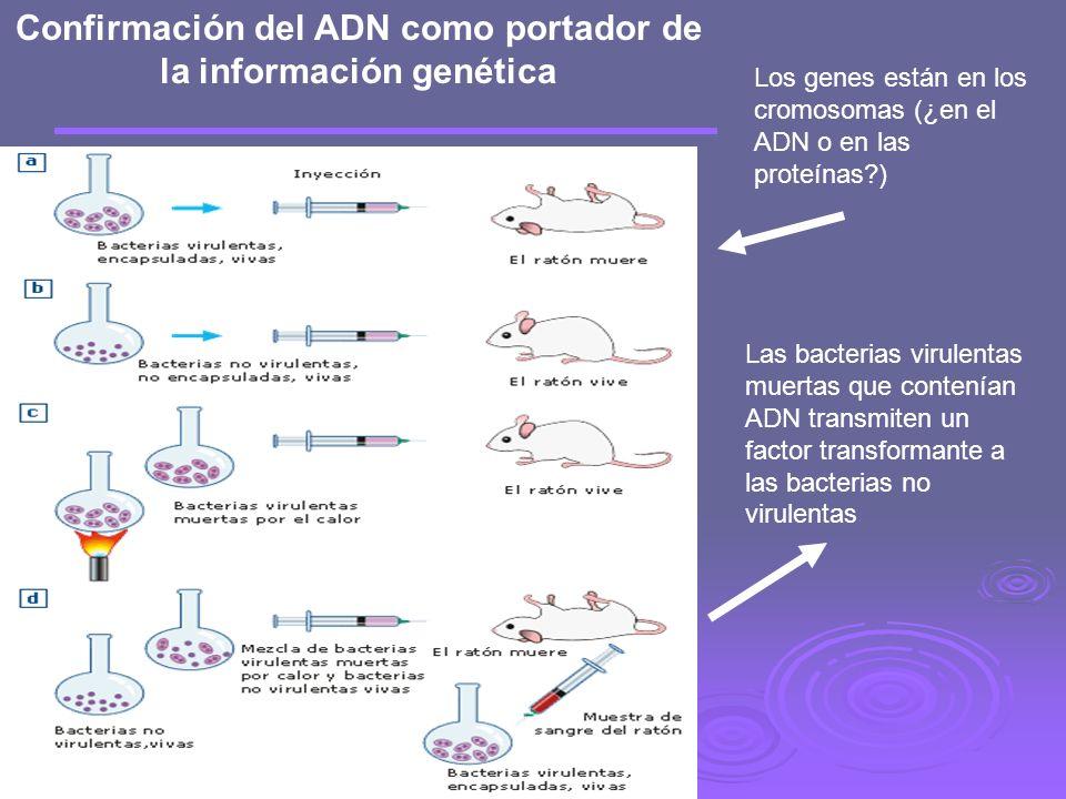 Confirmación del ADN como portador de la información genética Los genes están en los cromosomas (¿en el ADN o en las proteínas?) Las bacterias virulentas muertas que contenían ADN transmiten un factor transformante a las bacterias no virulentas