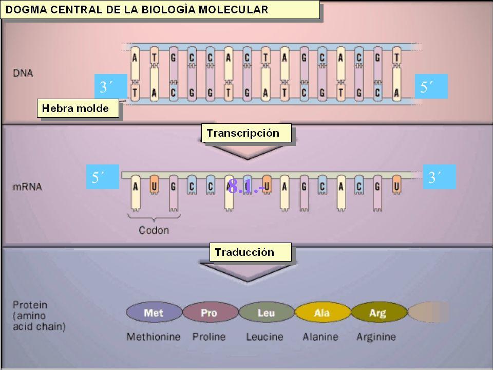 Dogma central de la biología molecular Flujo de información desde una secuencia de nucleótidos de ADN, a una secuencia de aminoácidos de una proteína