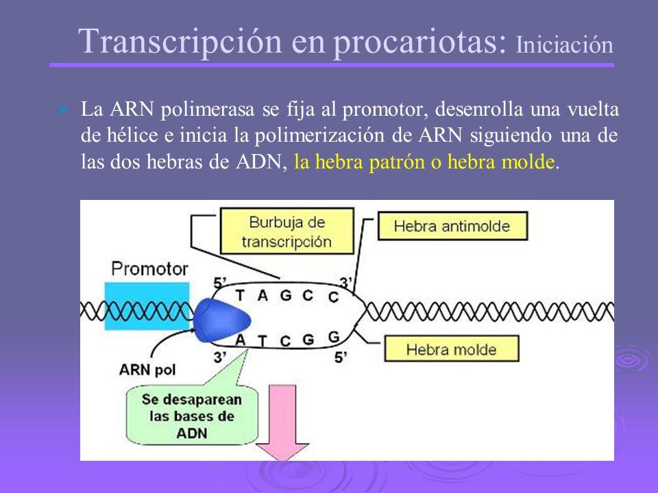 En el ADN hay: Una zona que se transcribe: unidad de transcripción Una zona anterior que no se transcribe: Promotor (contiene una secuencia de nucleót