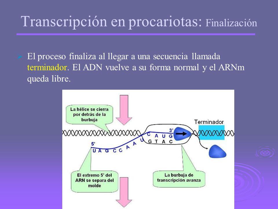 Transcripción en procariotas: Elongación o alargamiento La ARN-polimerasa recorre la hebra de ADN hacia su extremo 5´ sintetizando una hebra de ARNm e