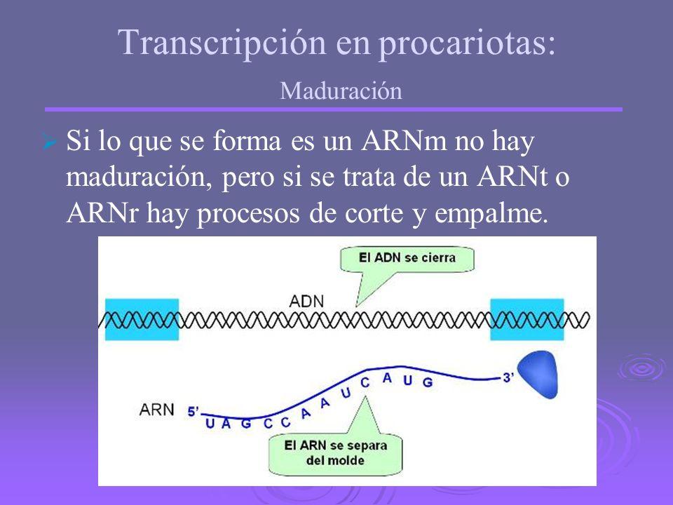 El proceso finaliza al llegar a una secuencia llamada terminador. El ADN vuelve a su forma normal y el ARNm queda libre. Transcripción en procariotas: