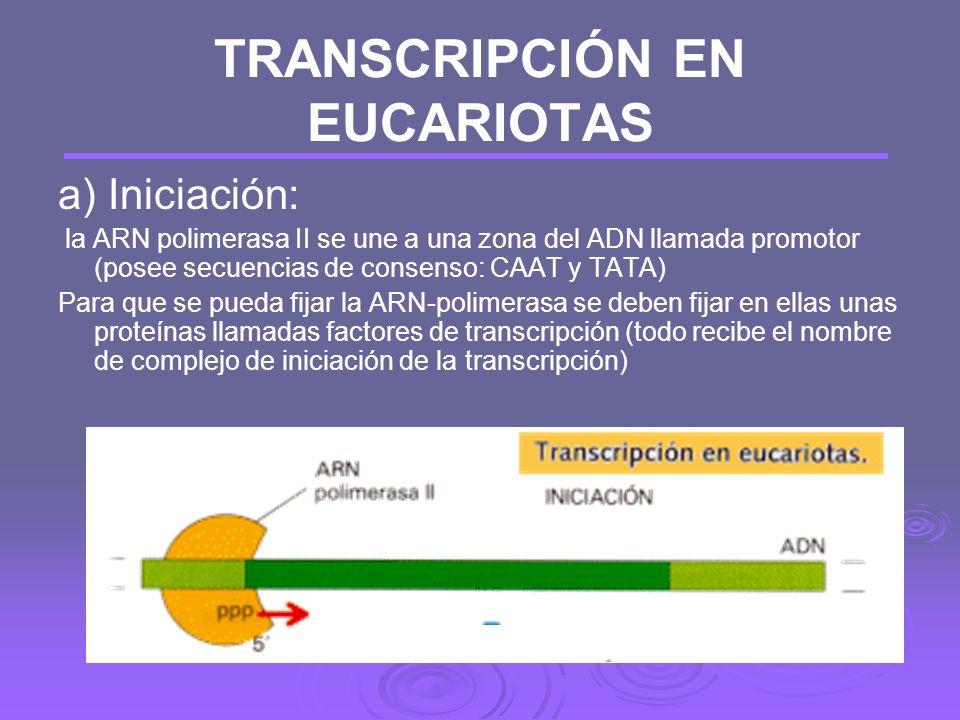 TRANSCRIPCIÓN EN EUCARIOTAS Hay que tener en cuenta tres características, respecto a procariotas: Existen tres tipos de ARN-polimerasa, según el tipo
