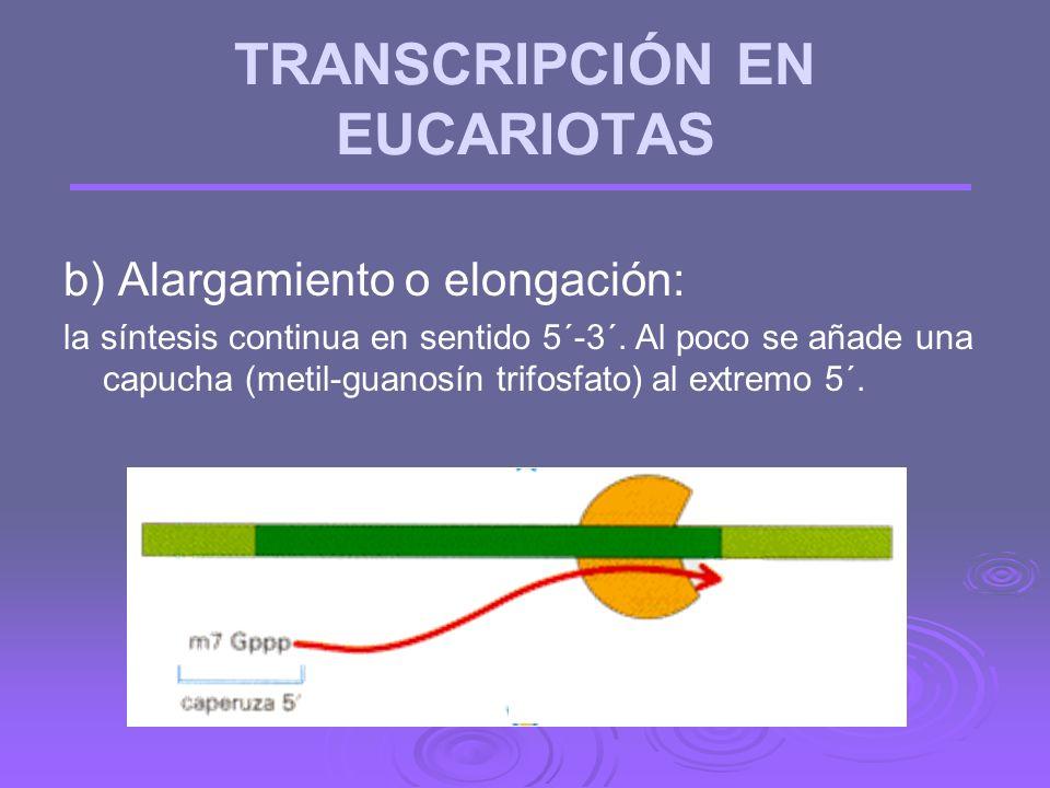 TRANSCRIPCIÓN EN EUCARIOTAS a) Iniciación: la ARN polimerasa II se une a una zona del ADN llamada promotor (posee secuencias de consenso: CAAT y TATA)