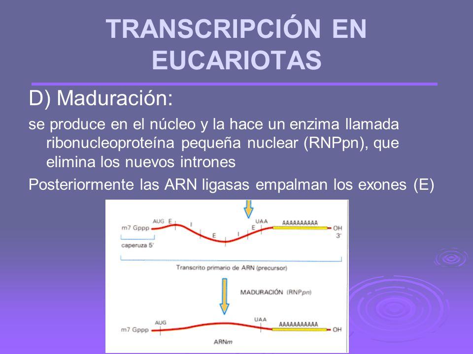 C) Finalización: parece que está relacionado con la secuencia TTATTT. Ahora interviene la enzima poliA-polimerasa que añade una cola de 200 ribonucleó