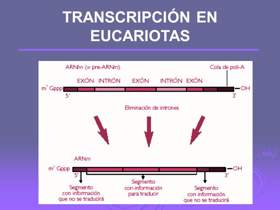 D) Maduración: se produce en el núcleo y la hace un enzima llamada ribonucleoproteína pequeña nuclear (RNPpn), que elimina los nuevos intrones Posteri