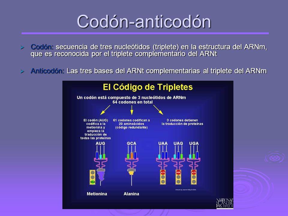 El código genético: correspondencia entre los tripletes de nucleótidos del ARNm y los aminoácidos que forman las proteínas Viene a ser como un diccion
