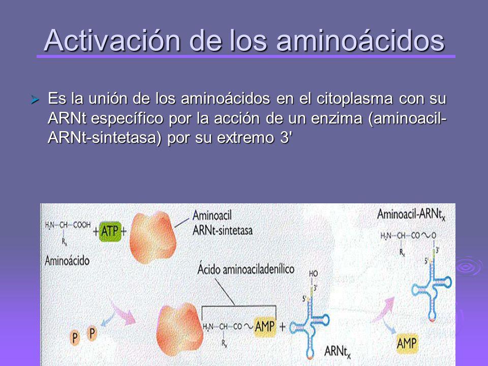 Traducción Se realiza en los ribosomas y es la síntesis de una secuencia de aminoácidos de una proteína a partir de la secuencia de ribonucleótidos de