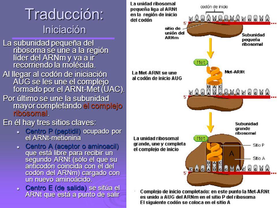 Activación de los aminoácidos Es la unión de los aminoácidos en el citoplasma con su ARNt específico por la acción de un enzima (aminoacil- ARNt-sinte