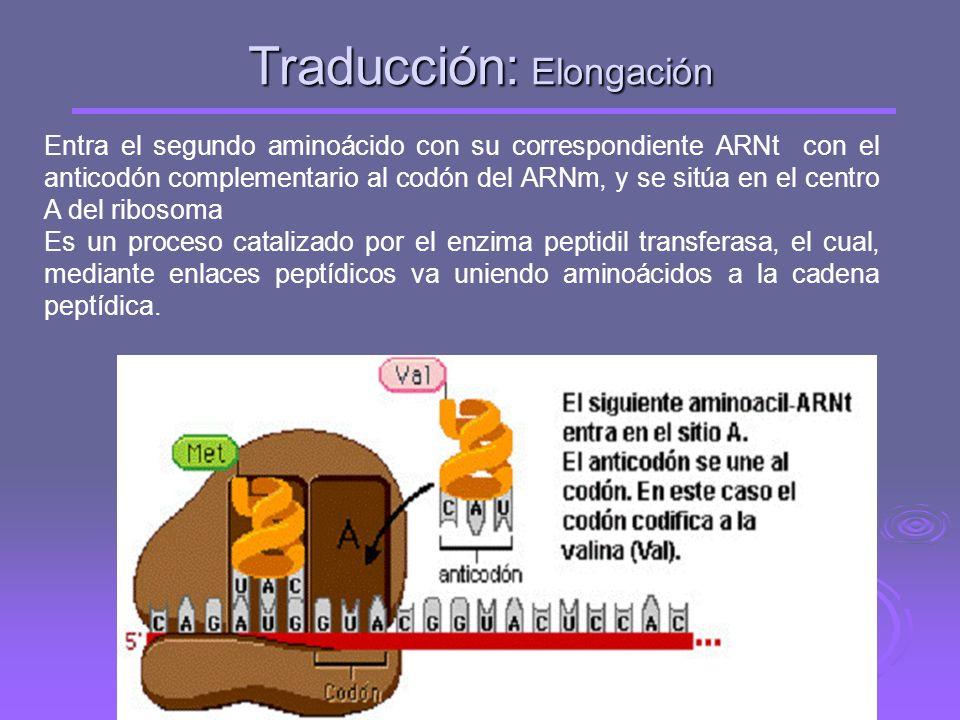 Traducción: Iniciación La subunidad pequeña del ribosoma se une a la región líder del ARNm y va a ir recorriendo la molécula. Al llegar al codón de in