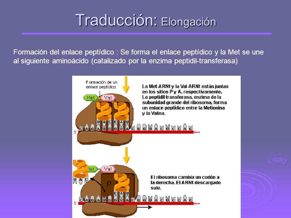 Traducción: Elongación Entra el segundo aminoácido con su correspondiente ARNt con el anticodón complementario al codón del ARNm, y se sitúa en el cen