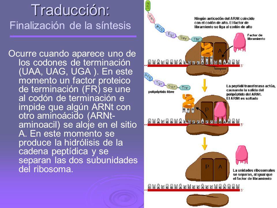 Traducción: Elongación Translocación: El ribosoma se traslada hacia el codón siguiente y el ARNt que lleva la Met se libera y sale fuera del ribosoma,