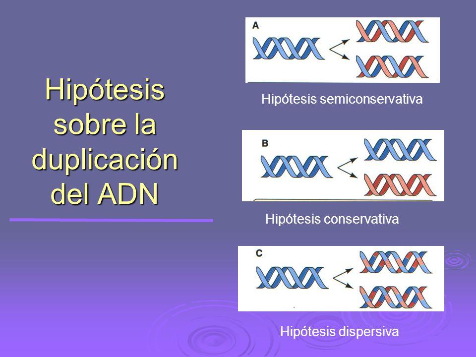 Hipótesis sobre la duplicación del ADN Hipótesis semiconservativa Hipótesis conservativa Hipótesis dispersiva