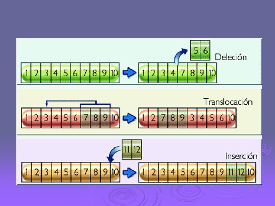 Mutaciones cromosómicas Deleción Implica la pérdida de un trozo de cromosoma; los efectos que se producen en el fenotipo están en función de los genes