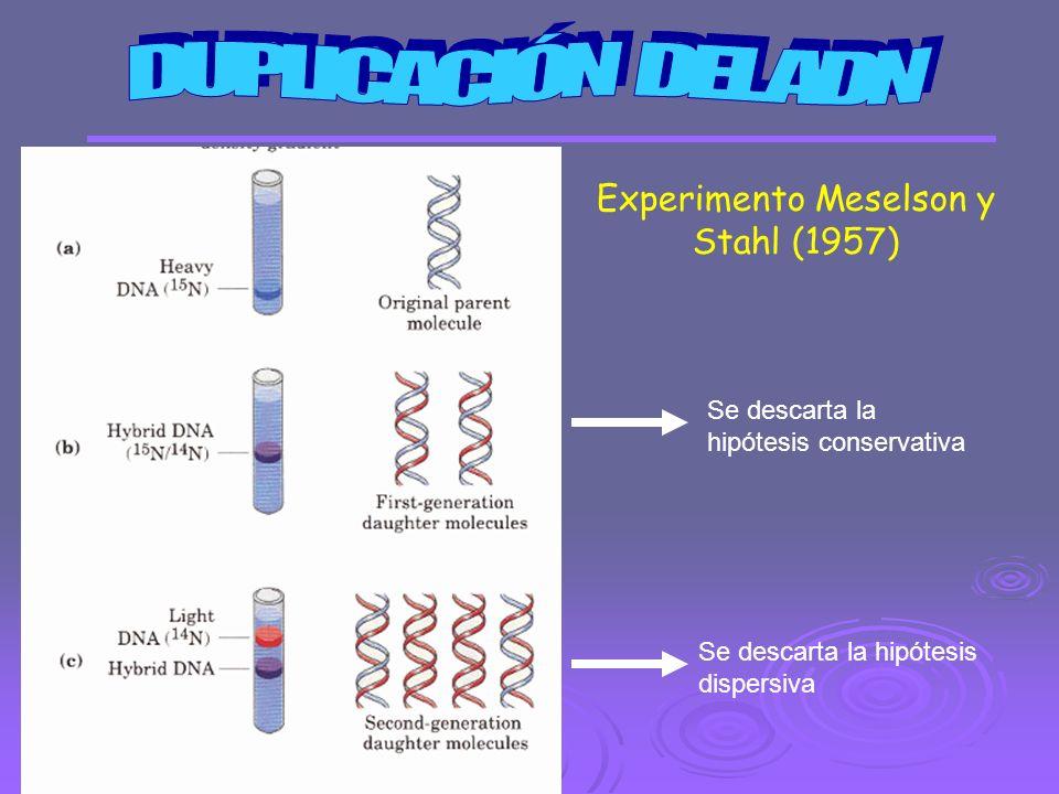 Experimento Meselson y Stahl (1957) Se descarta la hipótesis conservativa Se descarta la hipótesis dispersiva