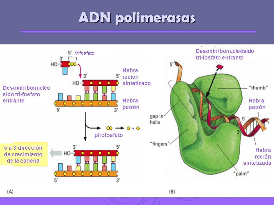 Síntesis de ADN in vitro Kornberg en 1956 aisló una enzima capaz de sintetizar ADN in vitro, La ADN-polimerasa Kornberg en 1956 aisló una enzima capaz