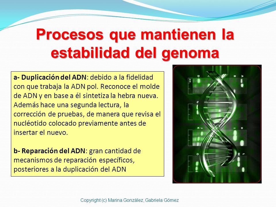 Procesos que mantienen la estabilidad del genoma a- Duplicación del ADN: debido a la fidelidad con que trabaja la ADN pol. Reconoce el molde de ADN y