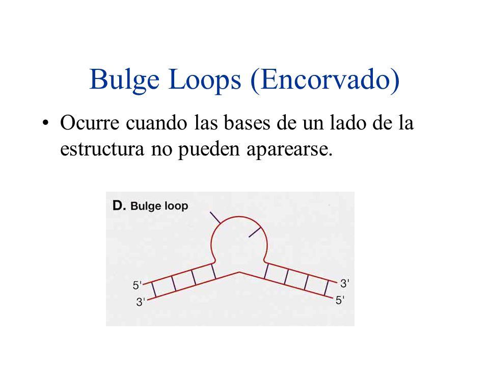 Bulge Loops (Encorvado) Ocurre cuando las bases de un lado de la estructura no pueden aparearse.