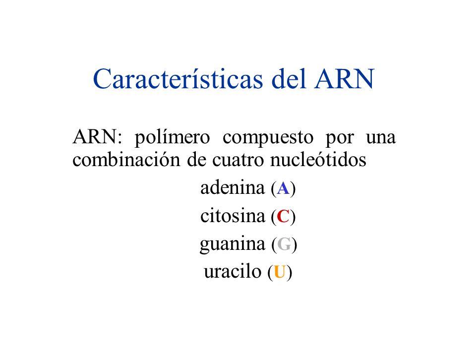 Características del ARN ARN: polímero compuesto por una combinación de cuatro nucleótidos adenina (A) citosina (C) guanina (G) uracilo (U)