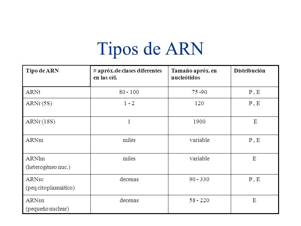 Tipos de ARN E58 - 220decenasARNsn (pequeño nuclear) P, E90 - 330decenasARNsc (peq citoplasmático) EvariablemilesARNhn (heterogéneo nuc.) P, EvariablemilesARNm E19001ARNr (18S) P, E1201 - 2ARNr (5S) P, E75 -9080 - 100ARNt DistribuciónTamaño apróx.