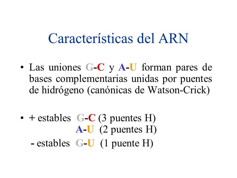 Características del ARN Las uniones G-C y A-U forman pares de bases complementarias unidas por puentes de hidrógeno (canónicas de Watson-Crick) + estables G-C (3 puentes H) A-U (2 puentes H) - estables G-U (1 puente H)