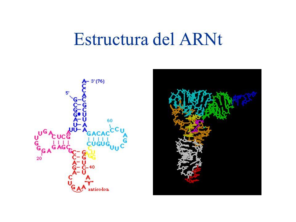 Introducción al análisis de secuencias de ARN Los ARNs tienen varios usos, ya sean estructurales o funcionales: –Traducción: ADN Proteína –Splicing spliceosoma –Localización celular de la señal involucrada en la traslocación de proteínas a través de la membrana plasmática celular.