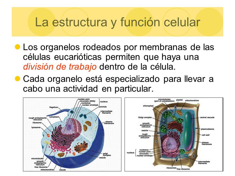 La estructura y función celular Los organelos rodeados por membranas de las células eucarióticas permiten que haya una división de trabajo dentro de l