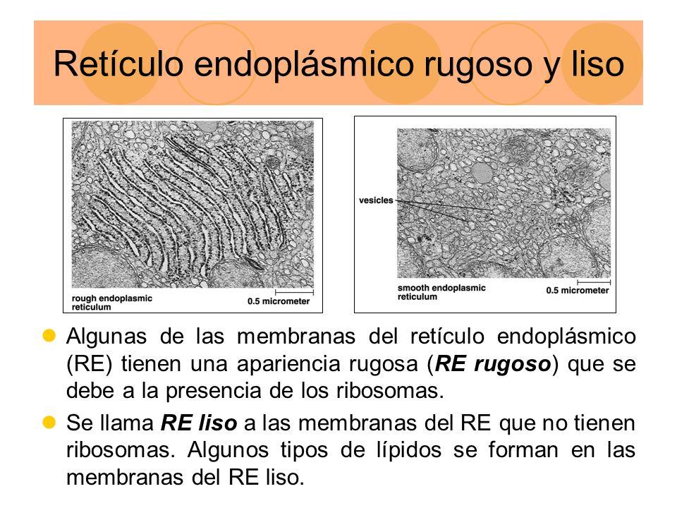 Retículo endoplásmico rugoso y liso Algunas de las membranas del retículo endoplásmico (RE) tienen una apariencia rugosa (RE rugoso) que se debe a la