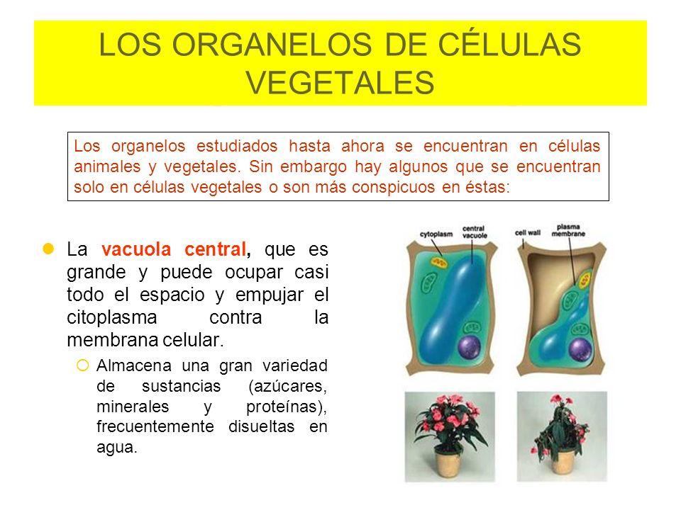 LOS ORGANELOS DE CÉLULAS VEGETALES La vacuola central, que es grande y puede ocupar casi todo el espacio y empujar el citoplasma contra la membrana ce
