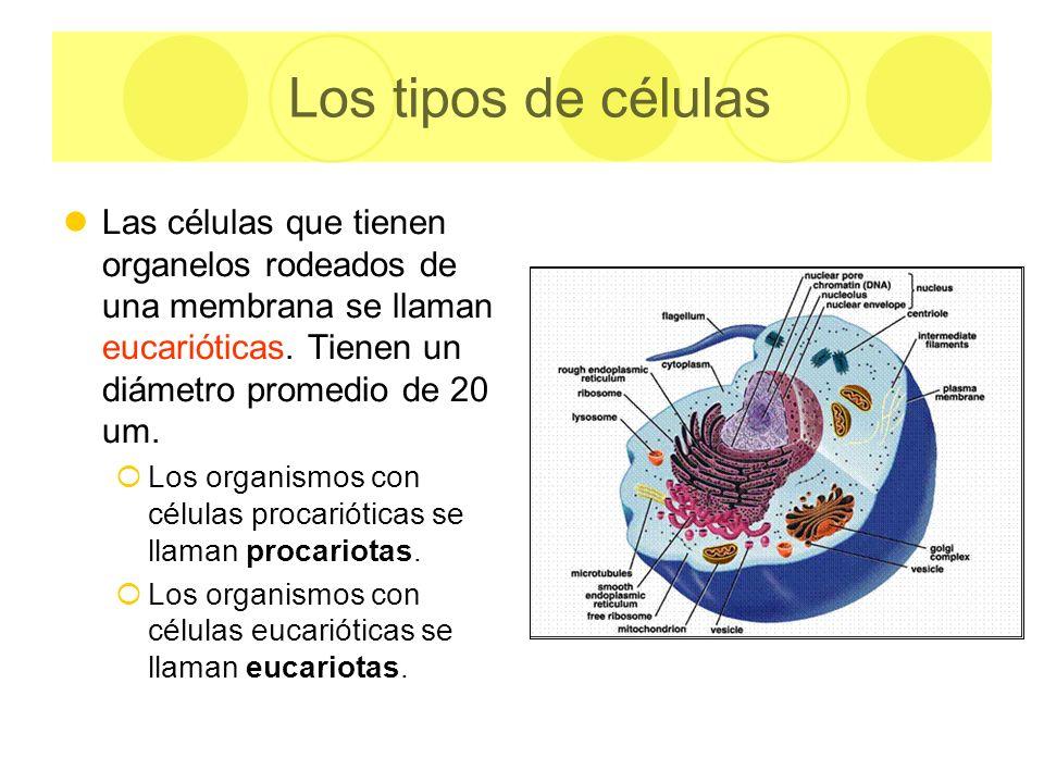 Las células que tienen organelos rodeados de una membrana se llaman eucarióticas. Tienen un diámetro promedio de 20 um. Los organismos con células pro
