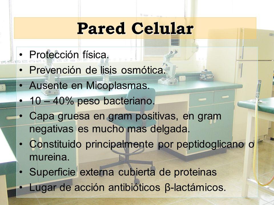 Pared Celular Protección física. Prevención de lisis osmótica. Ausente en Micoplasmas. 10 – 40% peso bacteriano. Capa gruesa en gram positivas, en gra